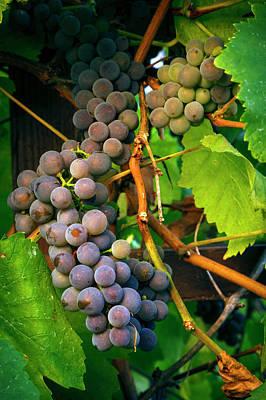 Macro Grapes Photograph - Usa, Oregon, Keizer, Pinot Gris Grapes by Rick A Brown