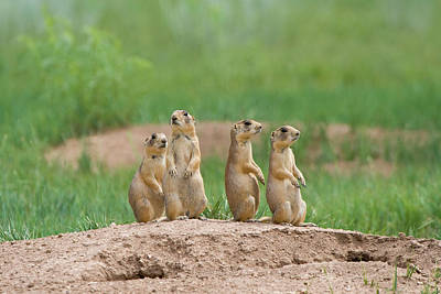 Prairie Dogs Photograph - Usa, Utah, Bryce Canyon National Park by Jaynes Gallery