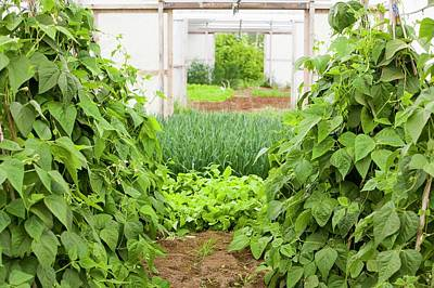 Vegetables Growing In Polytunnels Art Print by Ashley Cooper
