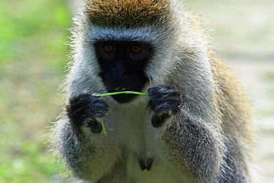 Photograph - Vervet Monkey by Aidan Moran