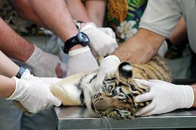 Vets Examining An Amur Tiger Cub Art Print by Jim West