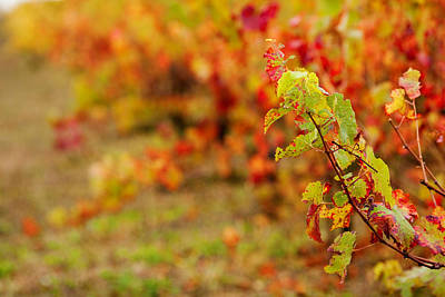 Close Focus Nature Scene Photograph - Vineyard In Autumn, Gaillac, Tarn by Panoramic Images