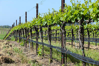 Grapevine Photograph - Vineyard In Spring by Brandon Bourdages
