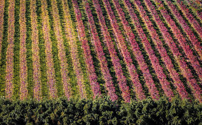 Vineyard Art Print by Stefano Termanini