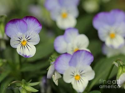 Viola Named Sorbet Lemon Blueberry Swirl Art Print by J McCombie