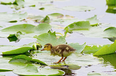 Baby Bird Photograph - Wa, Juanita Bay Wetland, Mallard Duck by Jamie and Judy Wild