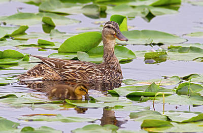 Baby Bird Photograph - Wa, Juanita Bay Wetland, Mallard Female by Jamie and Judy Wild