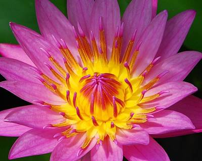 Photograph - Water Lily 1 by Allen Beatty