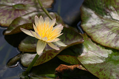 Photograph - Water Lily 19 by Allen Beatty