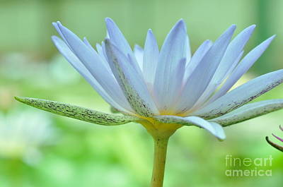 Photograph - Water Lily  2 by Allen Beatty