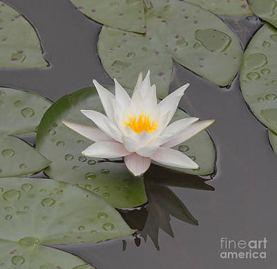 Stamen Digital Art - Water Lily In The Pond by Odon Czintos