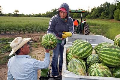 Watermelon Photograph - Watermelon Harvest by Jim West