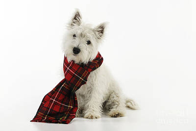Westie Puppies Photograph - West Highland White Terrier Puppy by John Daniels