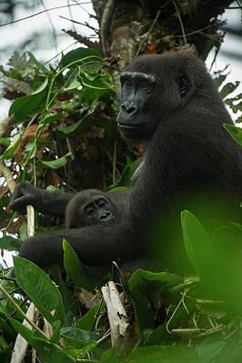 Western Lowland Gorilla, Ngaga Odzala Art Print by Pete Oxford