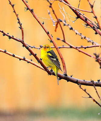 Photograph - Western Tanager by Floyd Tillery