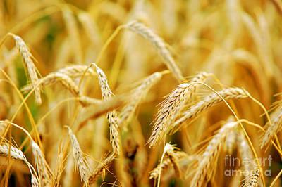 Crop Photograph - Wheat Field  by Michal Bednarek