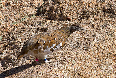 Photograph - White Tail Ptarmigan On Mount Evans by Fred Stearns