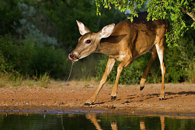 Starr Photograph - White-tailed Deer (odocoileus by Larry Ditto