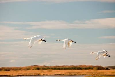 Whooper Swans Art Print by Ashley Cooper
