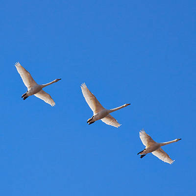Jouko Lehto Royalty-Free and Rights-Managed Images - Whooper swans by Jouko Lehto