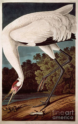 Animals Drawings - Whooping Crane by Celestial Images