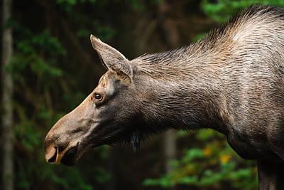 Caravaggio - Wild Moose by Brandon Smith