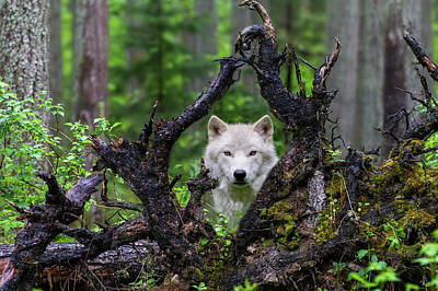 Tree Roots Photograph - Wolf by Mike Centioli