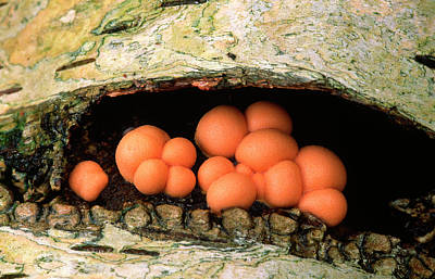 Mould Photograph - Wolf's Milk Slime Mould by Nigel Downer