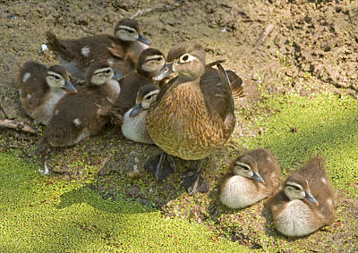 Photograph - Wood Duck Aix Sponsa With Ducklings by Millard H. Sharp