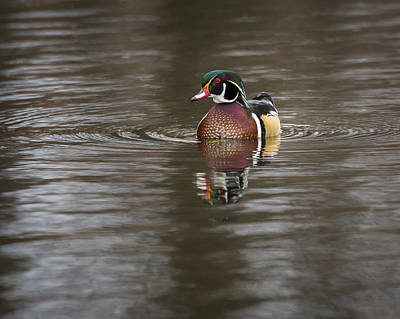 Photograph - Wood Duck by Jack R Perry