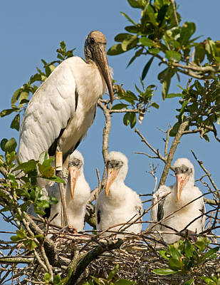 Photograph - Wood Stork Adult With Chicks In Nest by Millard H. Sharp