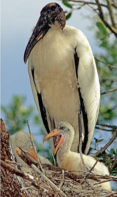 Photograph - Wood Stork In Nest With Young by Millard H. Sharp