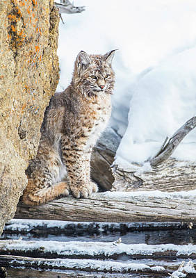 Felidae Photograph - Wyoming, Yellowstone National Park by Elizabeth Boehm