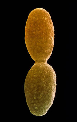 Yeast, Saccharomyces Cerevisiae Print by Power And Syred