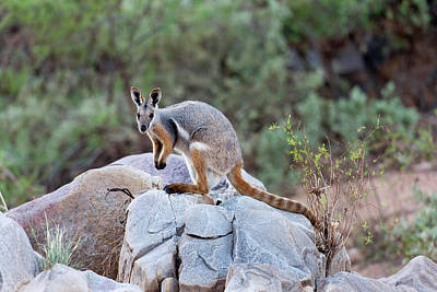 Marsupial Photograph - Yellow-footed Rock-wallaby (petrogale by Martin Zwick