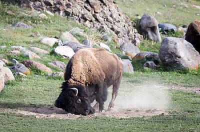 Photograph - Yellowstone Bison by Michael Chatt