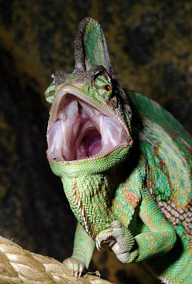 Yemen Photograph - Yemen Or Veiled Chameleon by Nigel Downer