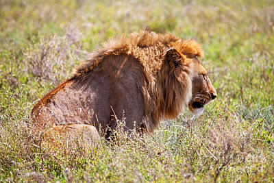 Lion Photograph - Young Adult Male Lion On Savanna. Safari In Serengeti. Tanzania. Africa by Michal Bednarek