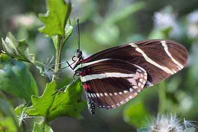 Photograph - Zebra Longwing Butterfly by Rudy Umans