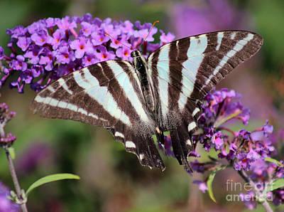Zebra Swallowtail Butterfly At Butterfly Bush Print by Karen Adams