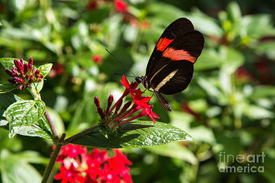 Photograph - Butterfly In The Wild by Rene Triay Photography