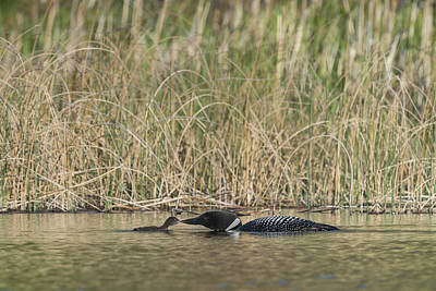 Great North Diver Loon Photograph - Common Loon Gavia Immer, Canada by John Shaw