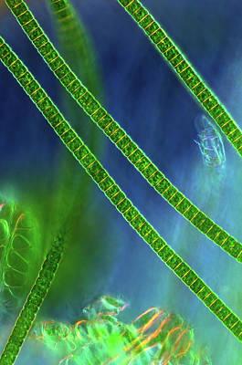 Desmids On Sphagnum Moss Art Print by Marek Mis