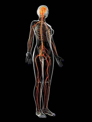 Female Nervous System Art Print by Sebastian Kaulitzki