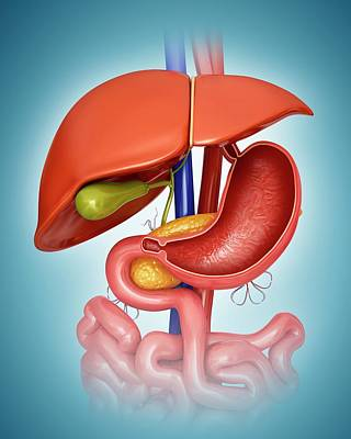Human Internal Organ Photograph - Human Internal Organs by Pixologicstudio