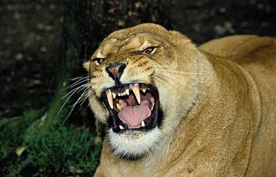 Lion Dafrique Panthera Leo Art Print by Gerard Lacz