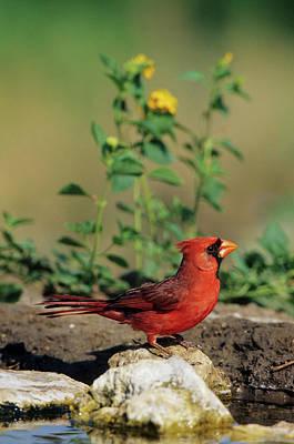 Starr Photograph - Northern Cardinal (cardinalis Cardinalis by Richard and Susan Day