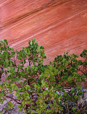 Manzanita Photograph - Usa, Utah, Zion National Park by Jaynes Gallery