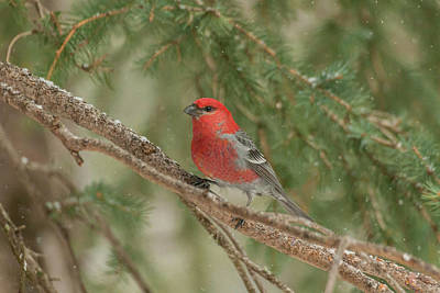 Pine Grosbeak Wall Art - Photograph - Usa, Wyoming, Yellowstone National Park by Jaynes Gallery