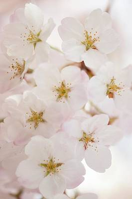 Cherry Blossoms Photograph - Yoshino Cherry (prunus X Yedoensis) by Maria Mosolova